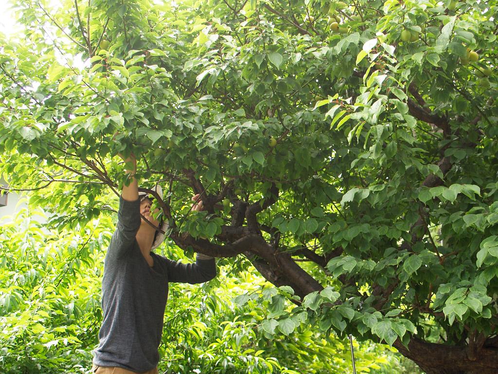 梅を収穫する妻