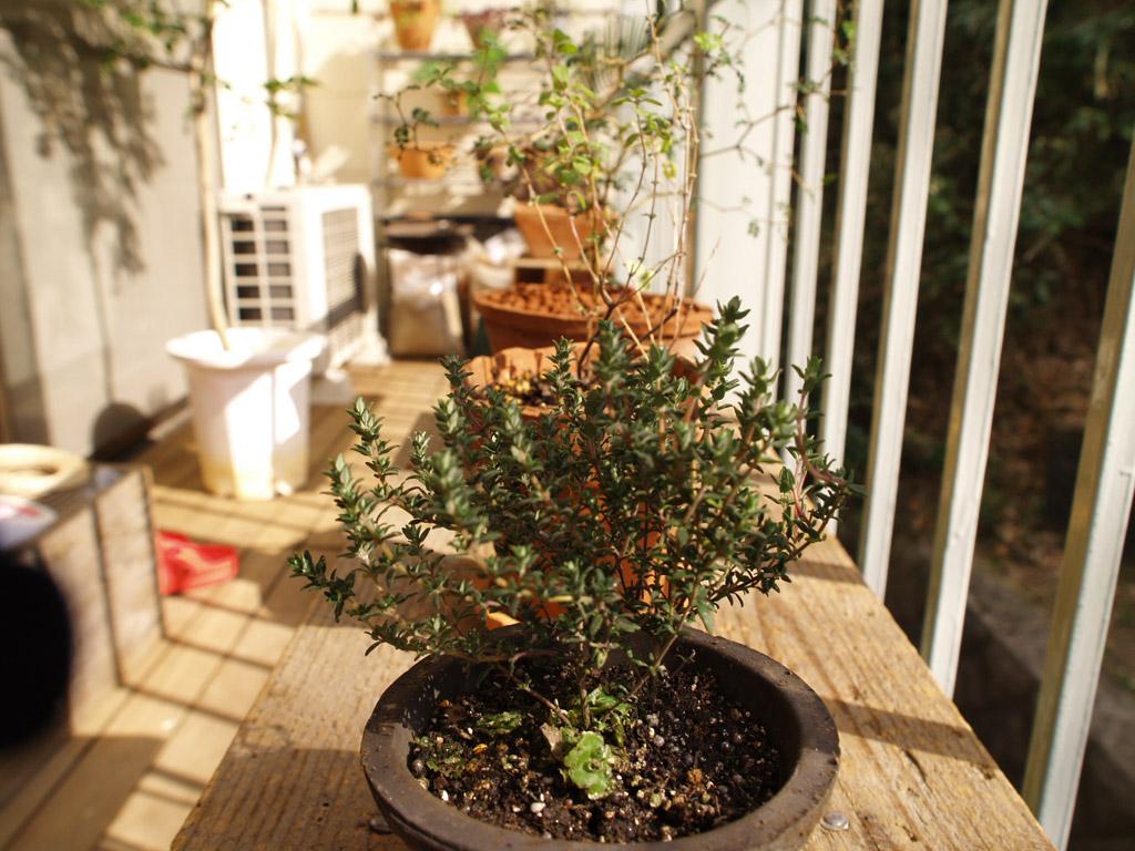 ベランダの植物たち