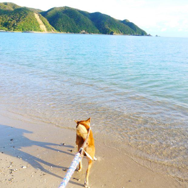 大家さんの犬、タビちゃん。時折、海辺に散歩に行きます。
