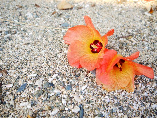 見たこともない花の名前をよく道端で会う方に教えていただいたり。これはフヨウの一種。