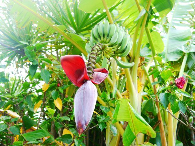 道端で見つけたバナナの木。あちこちに生えています。