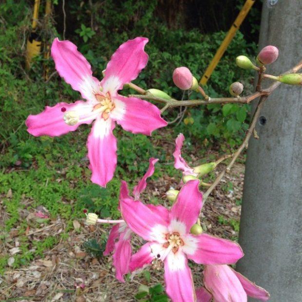 この季節に咲く花、トックリキワタ。Facebookにあげたら島在住の方から名前を教えていただきました。