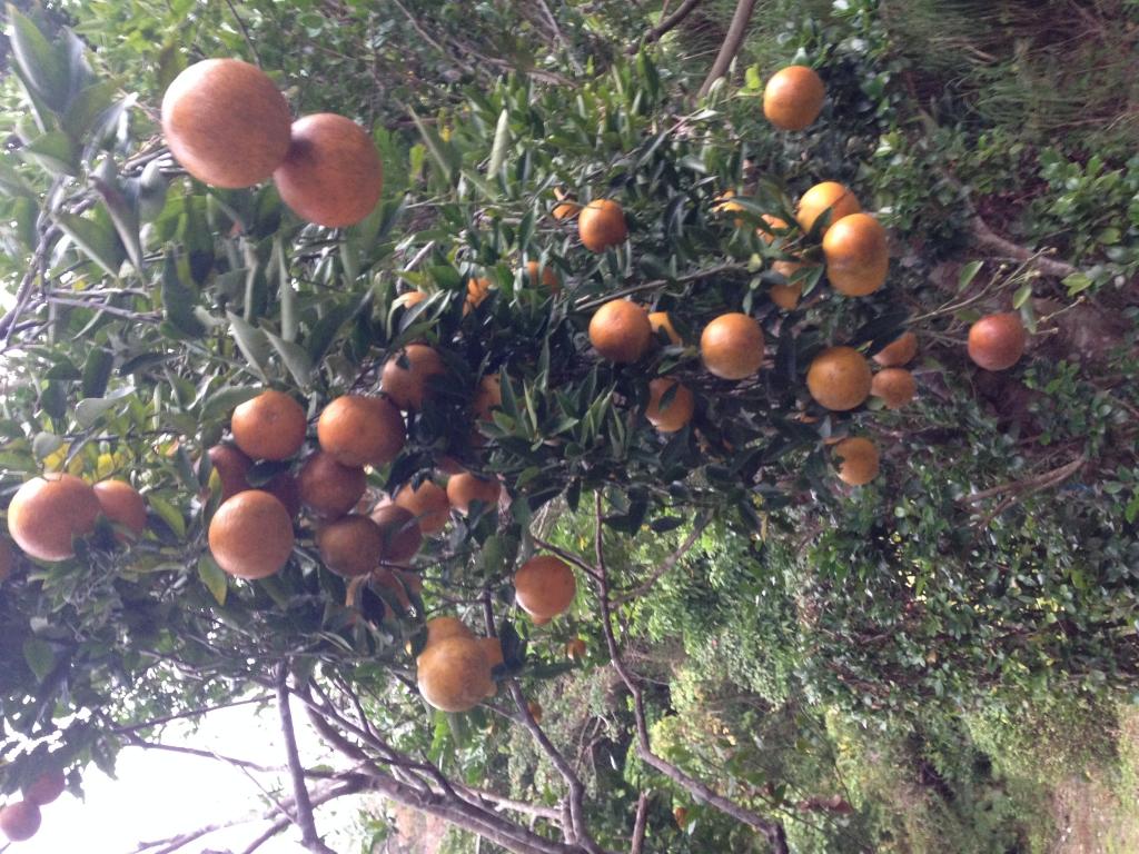 家の庭に生えている木にはこちらのみかん、『たんかん』が鈴なりになっています。