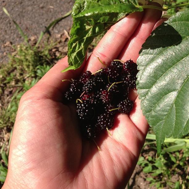 道を歩いている最中に桑の実が生えているのを発見。甘酸っぱくてジューシー!