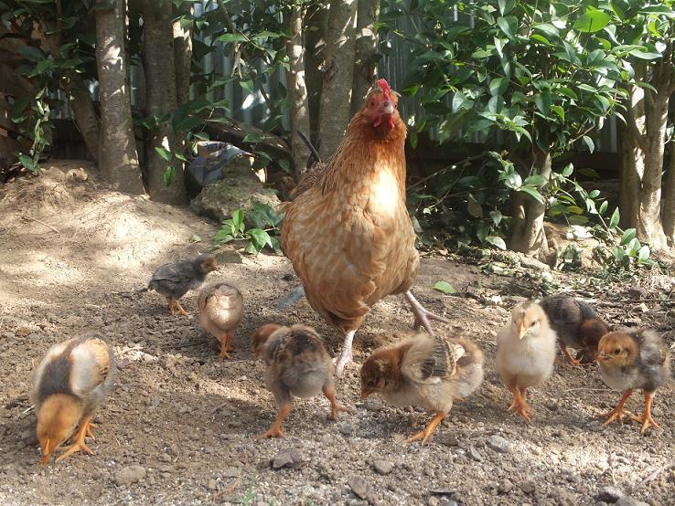 ▲うちの鶏クウィーン。雛が生まれた。