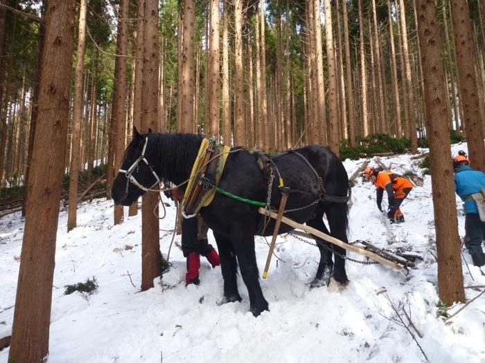 馬搬を継承する若きリーダー岩間さんの愛馬・サムライキング。 声をかけながら作業をするのは、動物との協働作業ならでは。 重い荷物の搬出は大変そうに思うが、下りの斜面での負担は少なく、 雪の斜面に慣れていない人はついていけないほど、あっという間に下りていった。