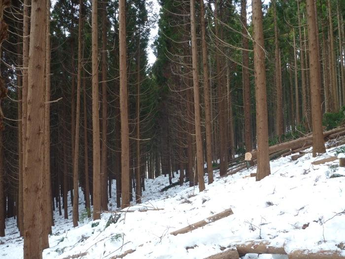 「馬搬では(作業)道が要らない」が、森をよく見ると、 先人が残してくれた見通しの良い所があるのが判る。 馬搬ならこれでも充分道として活用できる。 費用をかけて山を削って道を作る必要がない。