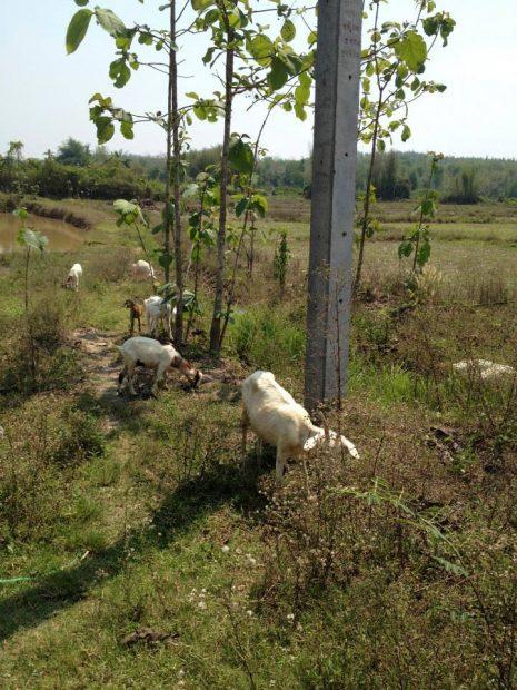 毎朝開放的に草を食べていたヤギたち