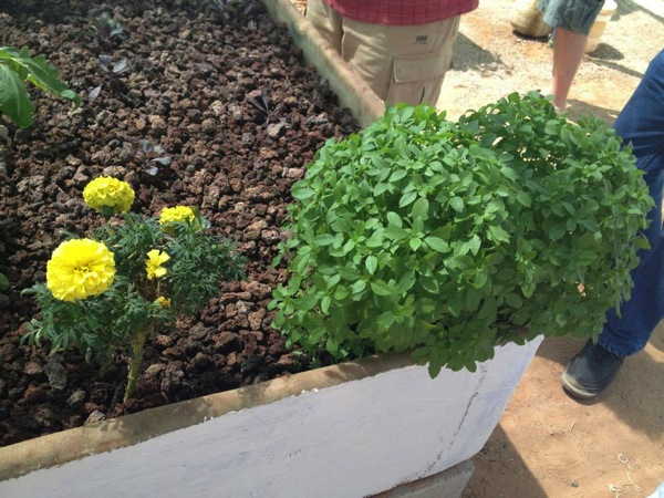 害虫対策で植えられていたマリーゴールドとバジル.jpg