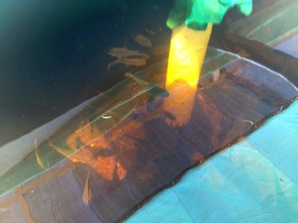 水槽で泳ぐティラピア.jpg