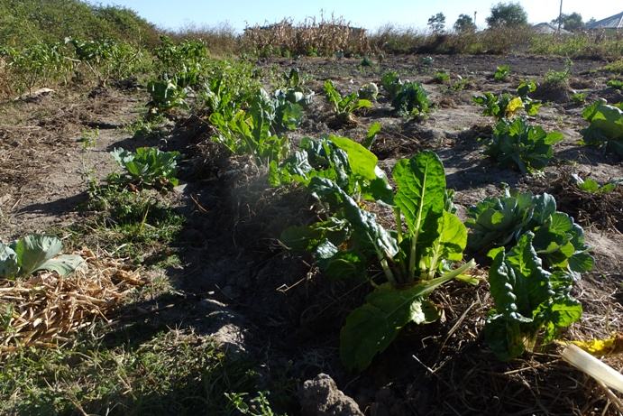 第5回:アフリカの大地に野菜を育てる|ニンゲンらしく、アフリカぐらし