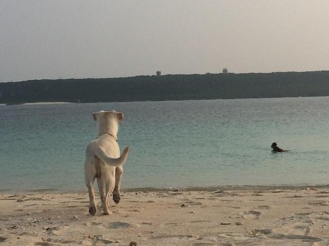 宮古島でお世話になっていた友人宅の犬。泳ぐ飼い主を追いかけていく忠犬です。