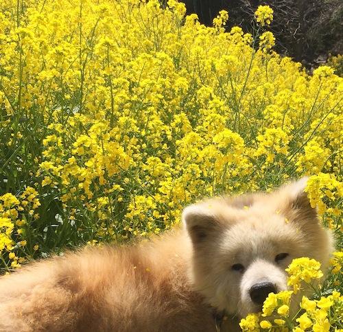 大分は春、驚くほどあちこちにたくさん菜の花が咲きます。
