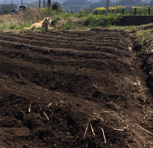 近所の人からお借りした畑、じゃがいもを植えました。