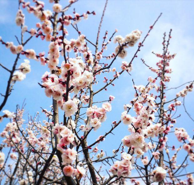 標高の高い場所では、まだ梅が咲いていました。