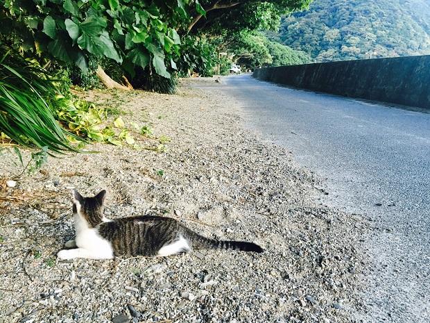飼い猫と諸鈍集落のでいご並木。猫もこの場所がお気に入り。