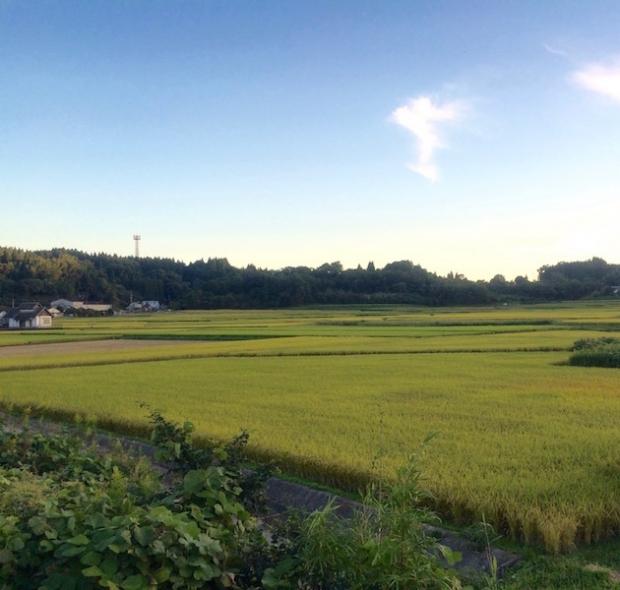 大分県臼杵市の田園風景です。稲穂の色づきは本当に美しいですね。