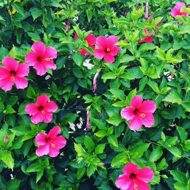 道端に咲くハイビスカス。島に咲く花々のように島の女性たちにはそれぞれの魅力があると思います。