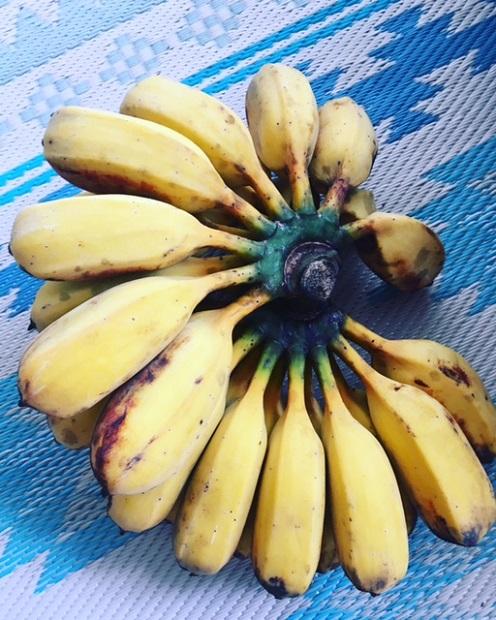 「友達来てるんでしょ? 皆で食べて」と差し入れてもらった島バナナ。