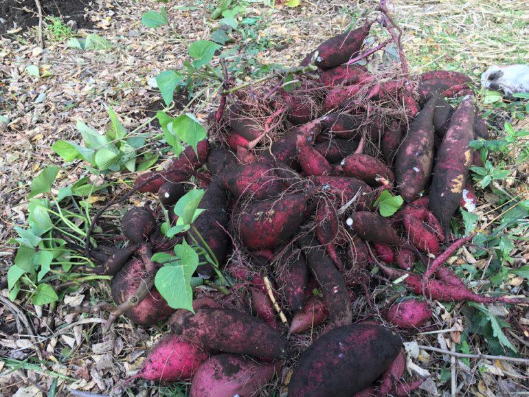#44 団地の菜園活動に参加しました!芋掘り編 |YADOKARI✕公社二宮団地