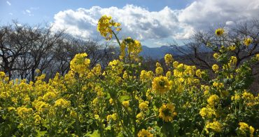 #59 吾妻山の菜の花と相模湾、絶景です!|YADOKARI✕公社二宮団地